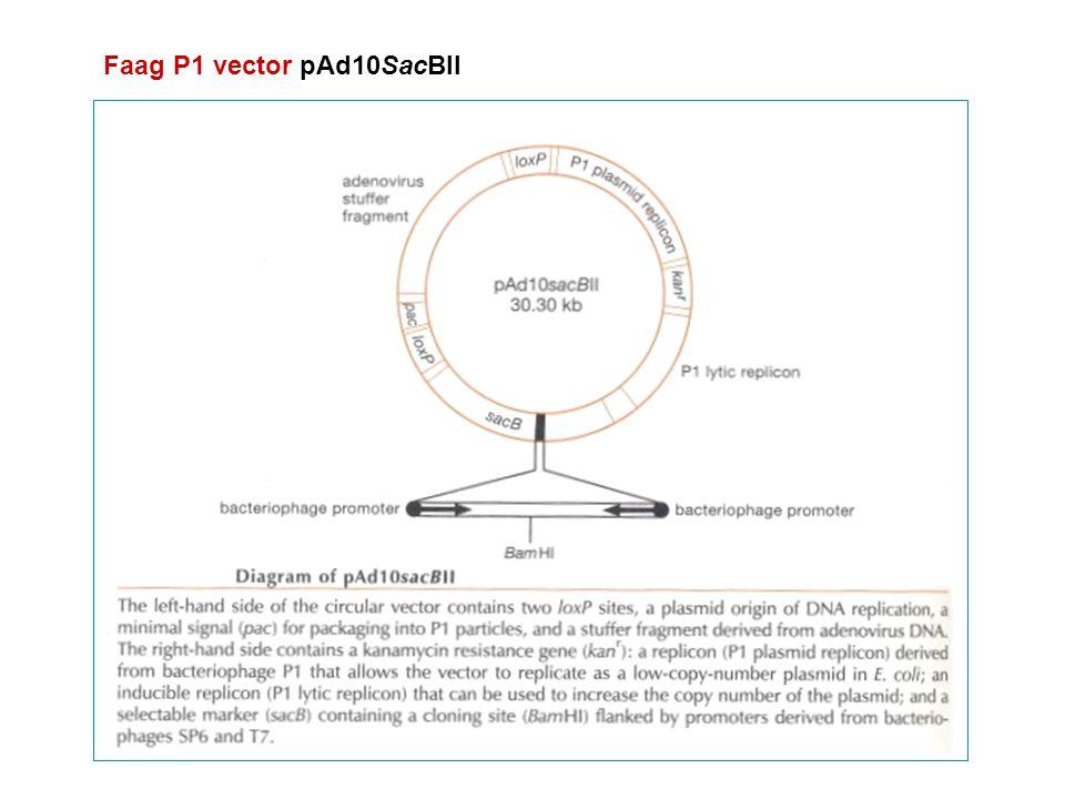 Faag P1 vector pAd10SacBII