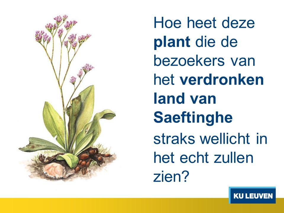 Hoe heet deze plant die de bezoekers van het verdronken land van Saeftinghe straks wellicht in het echt zullen zien