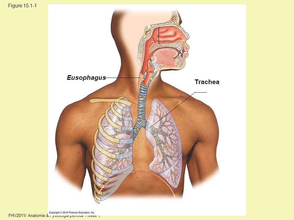 Eusophagus Trachea Figure 15.1-1