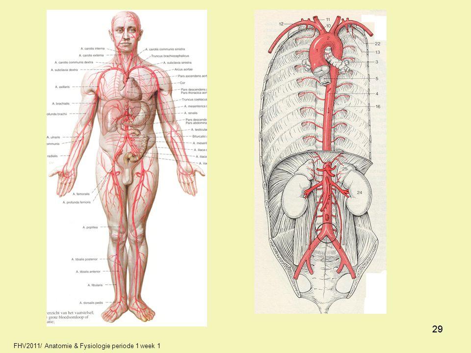 29 29 FHV2011/ Anatomie & Fysiologie periode 1 week 1 29 29