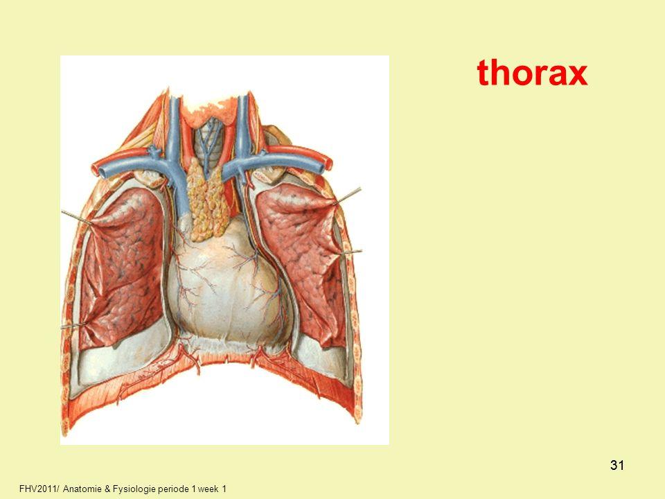 thorax 31 31 FHV2011/ Anatomie & Fysiologie periode 1 week 1 31 31