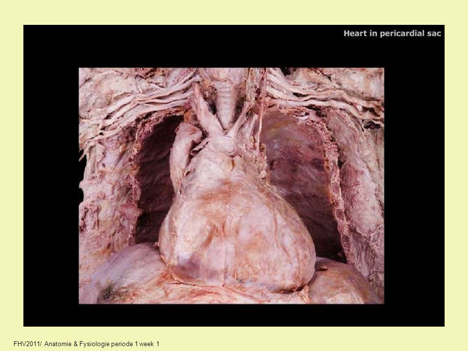 10_A2244_unlabeled.jpg FHV2011/ Anatomie & Fysiologie periode 1 week 1