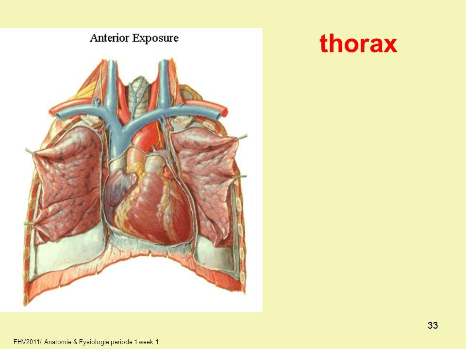 thorax 33 33 FHV2011/ Anatomie & Fysiologie periode 1 week 1 33 33