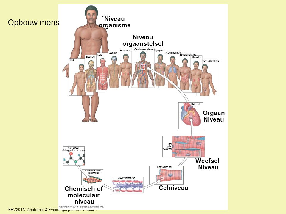 Opbouw mens `Niveau organisme Niveau orgaanstelsel Orgaan Niveau