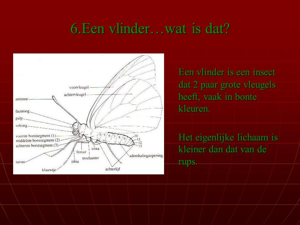 6.Een vlinder…wat is dat Een vlinder is een insect dat 2 paar grote vleugels heeft, vaak in bonte kleuren.