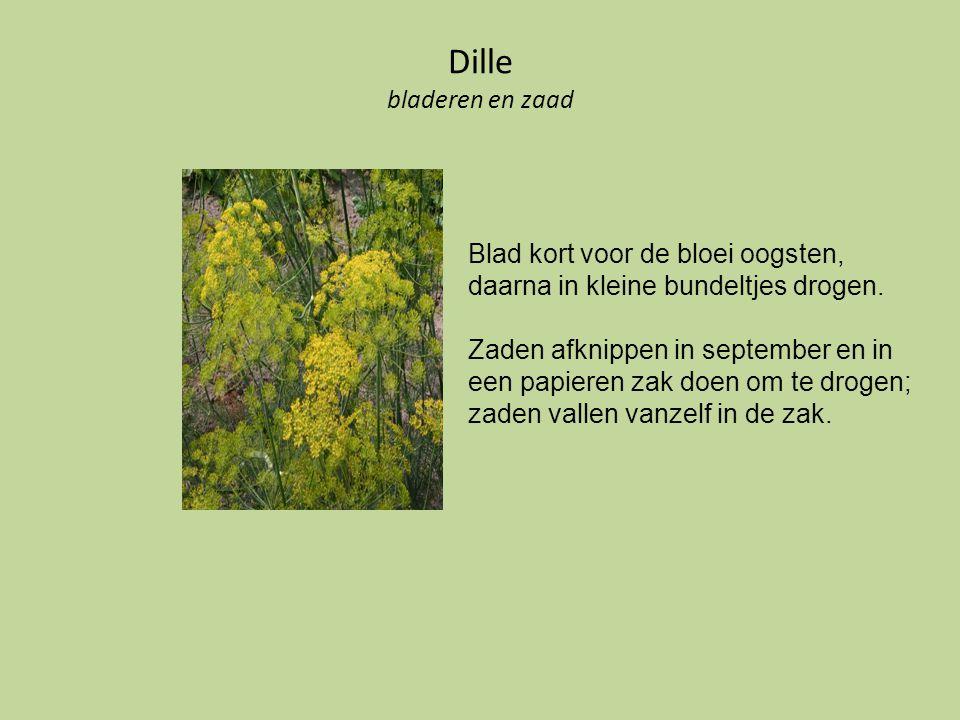 Dille bladeren en zaad Blad kort voor de bloei oogsten, daarna in kleine bundeltjes drogen.