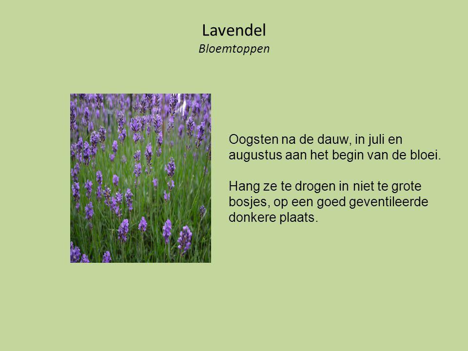 Lavendel Bloemtoppen Oogsten na de dauw, in juli en augustus aan het begin van de bloei.