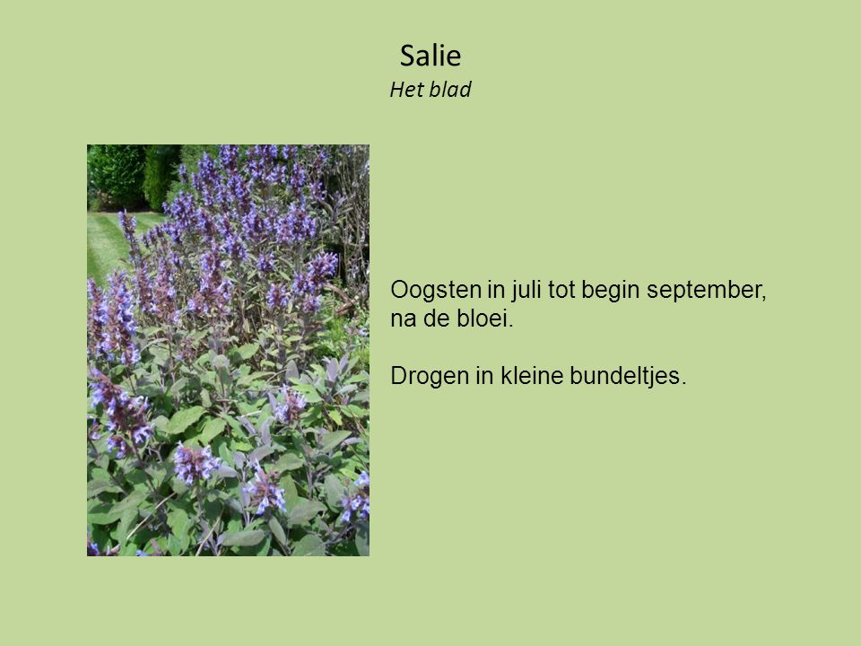 Salie Het blad Oogsten in juli tot begin september, na de bloei.