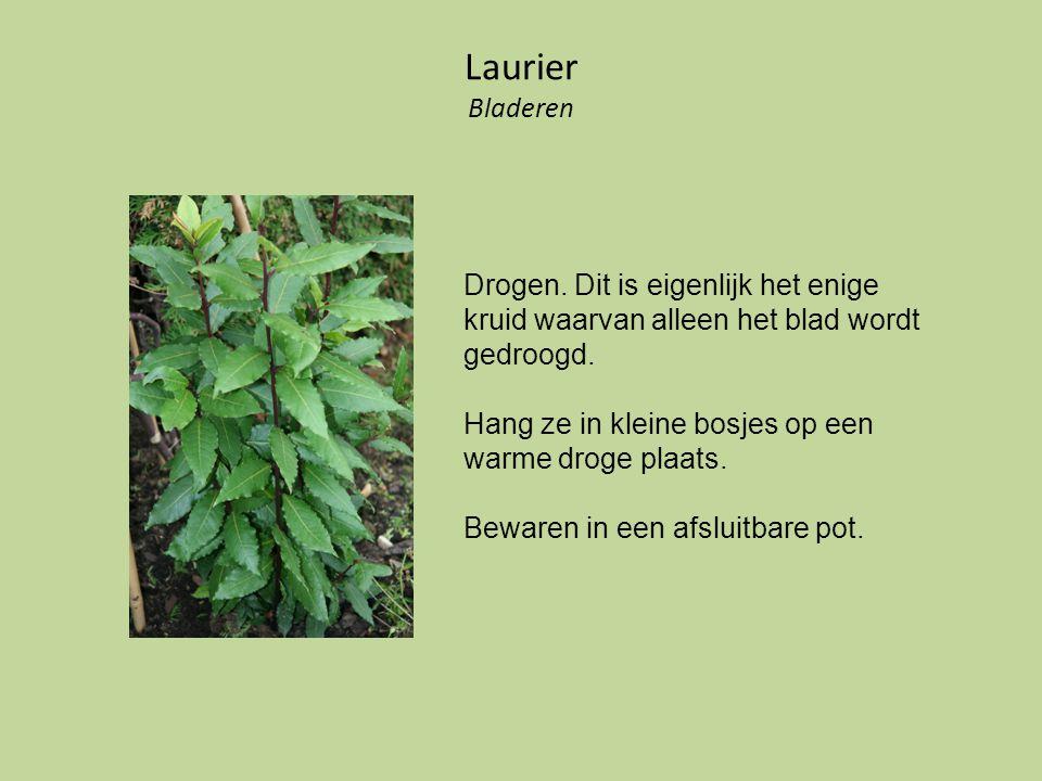 Laurier Bladeren Drogen. Dit is eigenlijk het enige kruid waarvan alleen het blad wordt gedroogd.