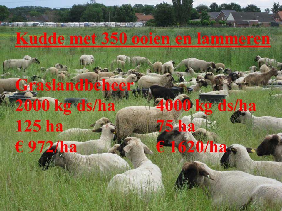 Kudde met 350 ooien en lammeren