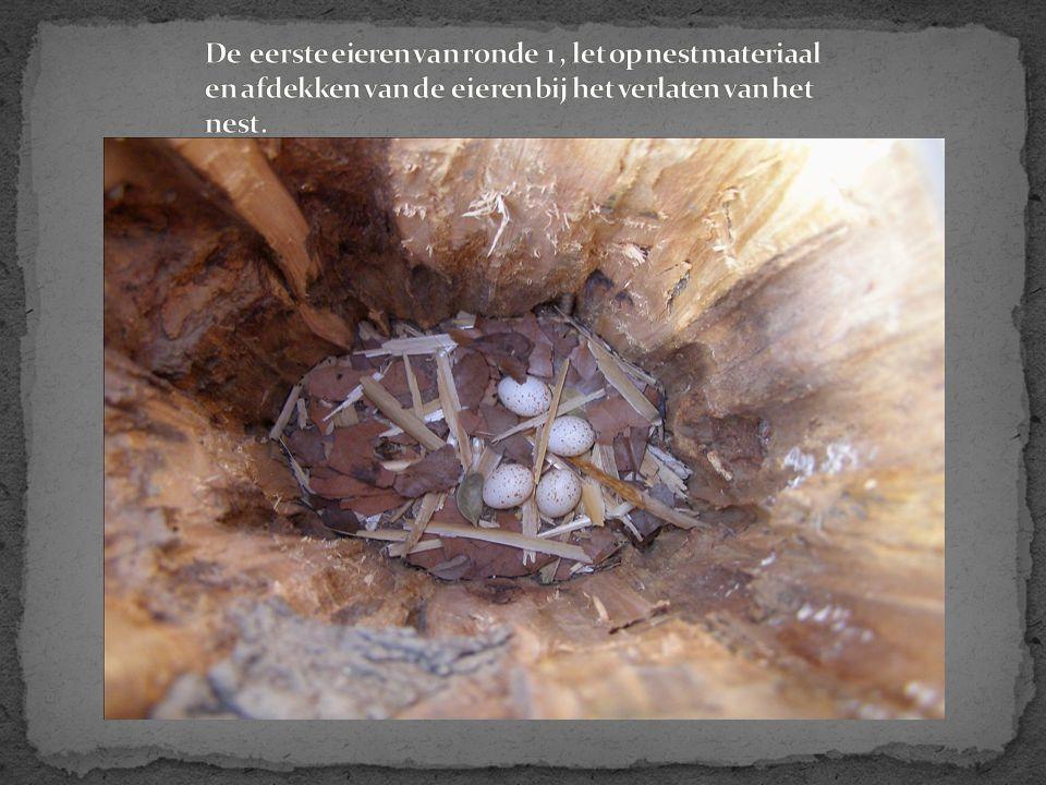 De eerste eieren van ronde 1 , let op nestmateriaal en afdekken van de eieren bij het verlaten van het nest.