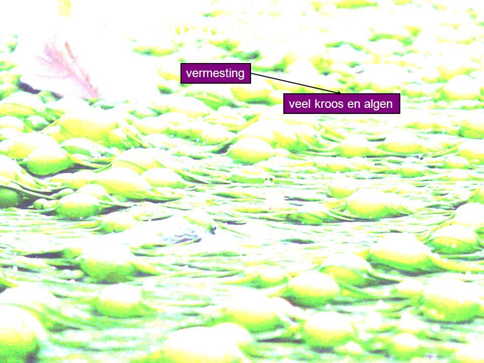 Eutrofiëring vermesting veel kroos en algen