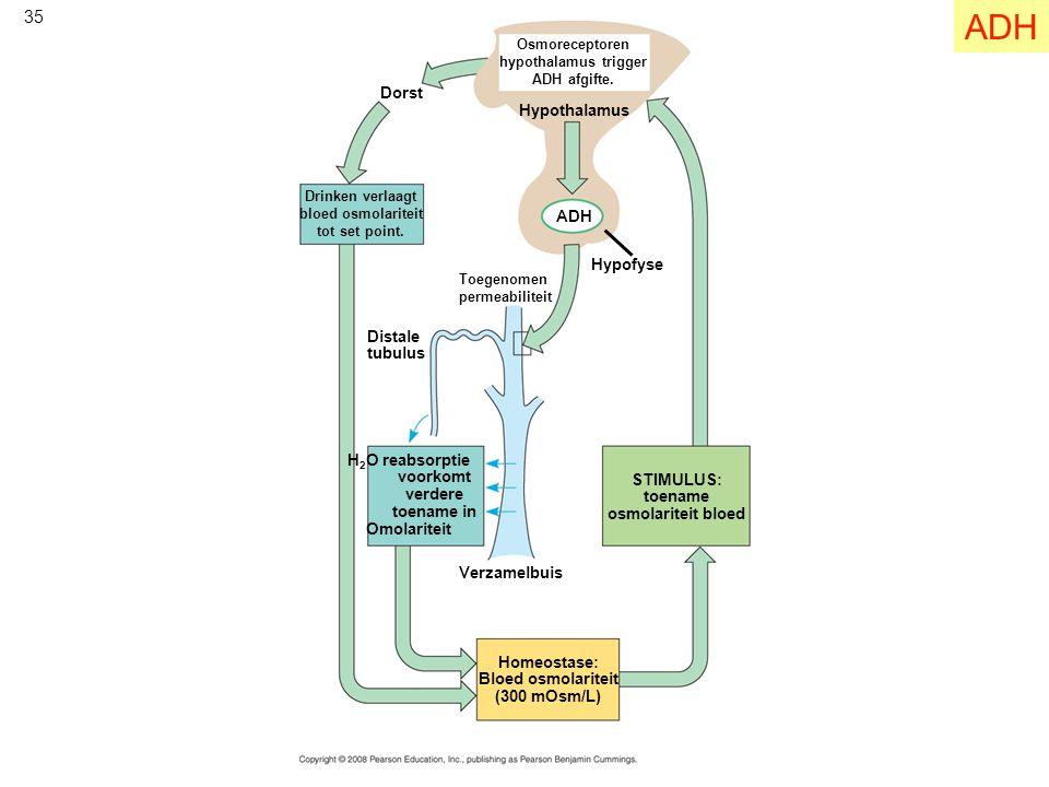 H2O reabsorptie voorkomt verdere toename in