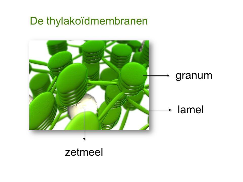 De thylakoïdmembranen
