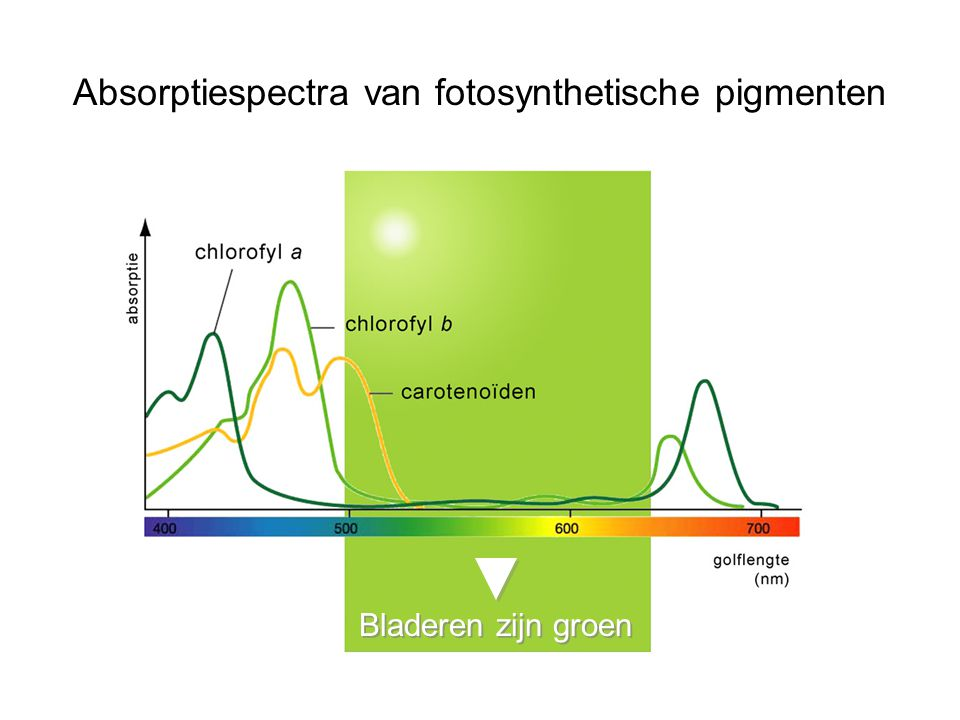 Absorptiespectra van fotosynthetische pigmenten