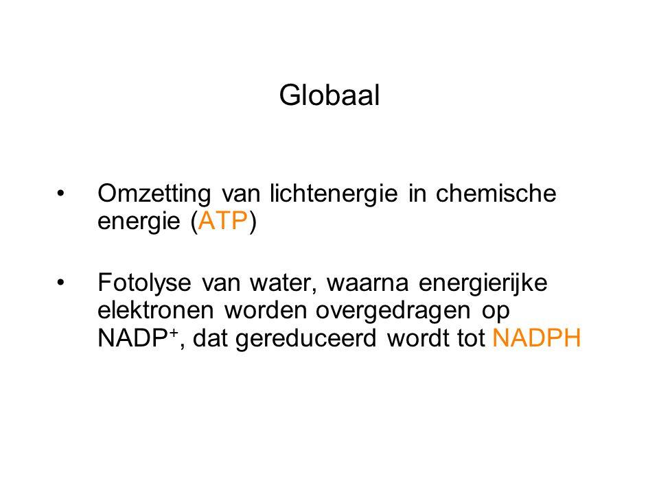 Globaal Omzetting van lichtenergie in chemische energie (ATP)