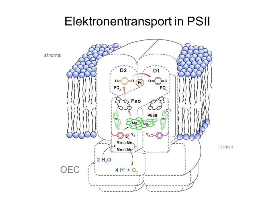 Elektronentransport in PSII