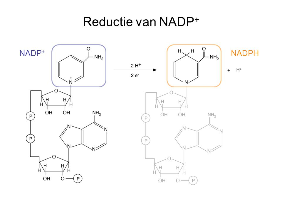 Reductie van NADP+ NADP+ NADPH