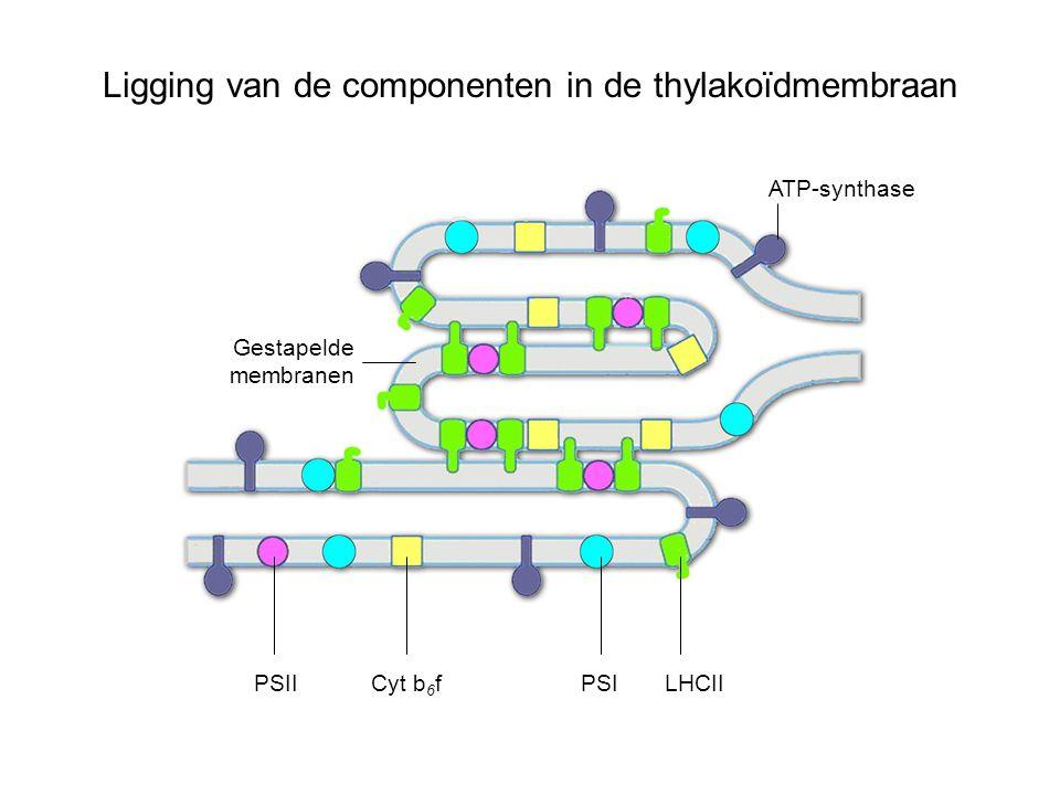 Ligging van de componenten in de thylakoïdmembraan