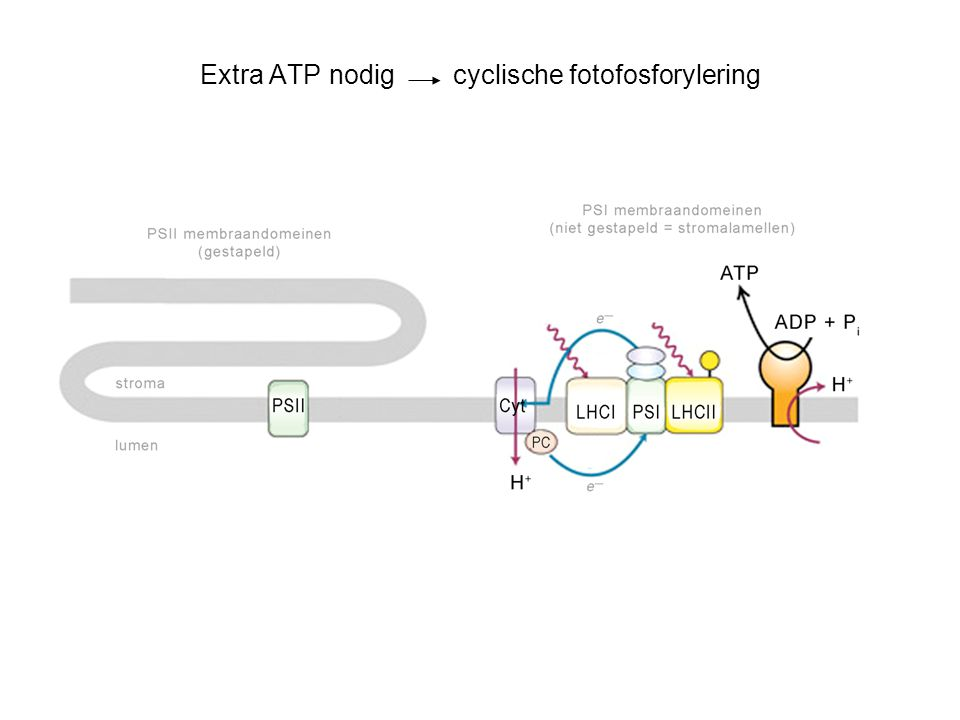 Extra ATP nodig cyclische fotofosforylering