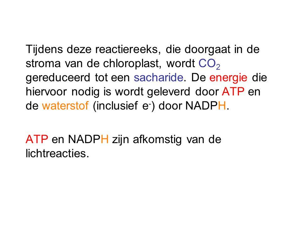 Tijdens deze reactiereeks, die doorgaat in de stroma van de chloroplast, wordt CO2 gereduceerd tot een sacharide. De energie die hiervoor nodig is wordt geleverd door ATP en de waterstof (inclusief e-) door NADPH.