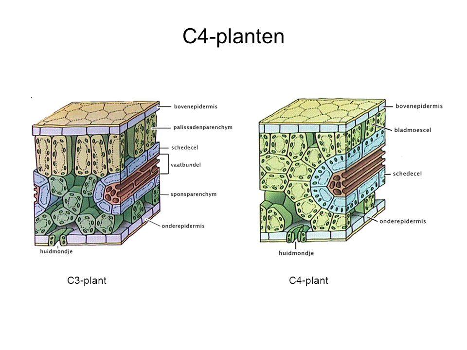C4-planten C3-plant C4-plant