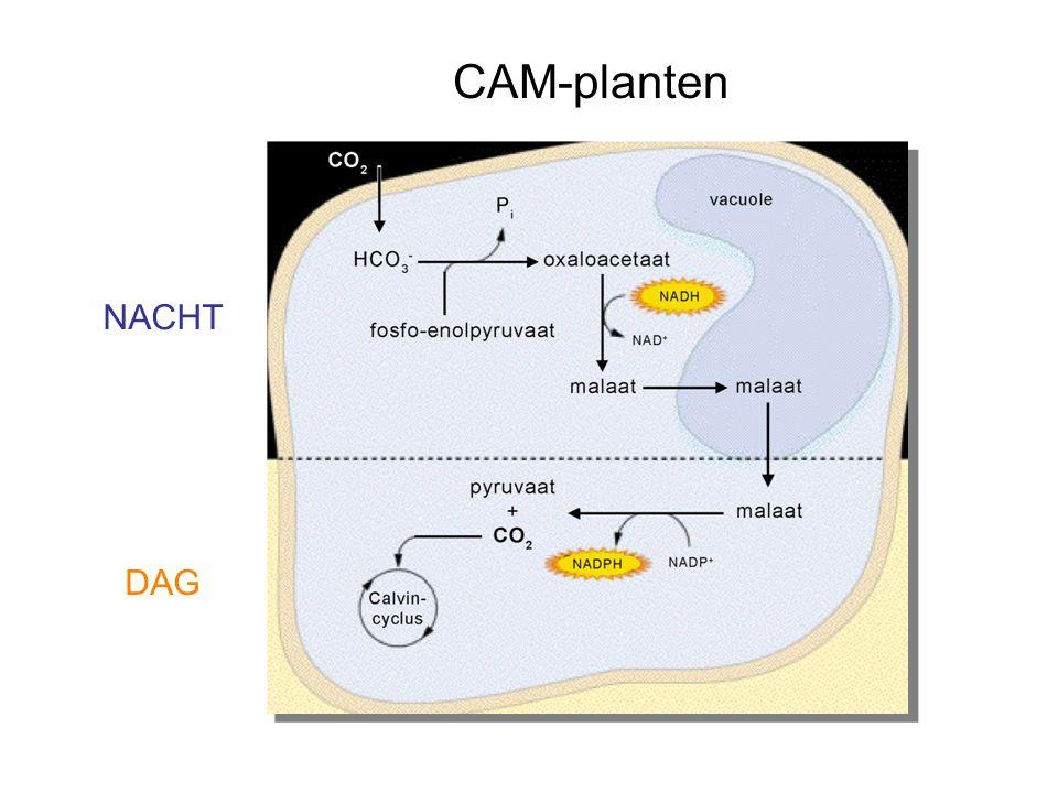 CAM-planten NACHT DAG