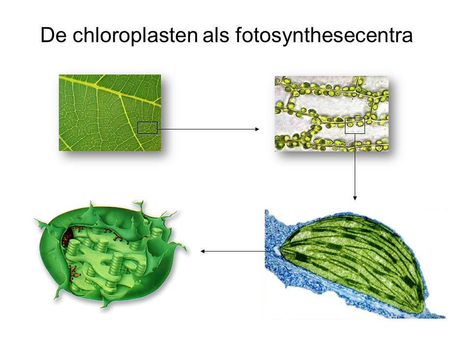 De chloroplasten als fotosynthesecentra