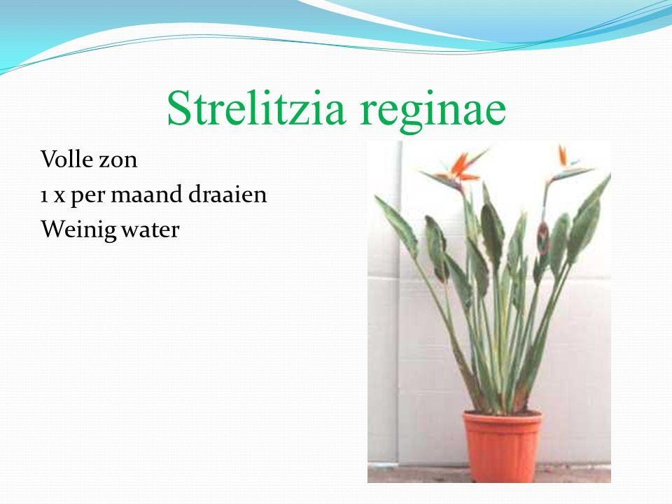 Strelitzia reginae Volle zon 1 x per maand draaien Weinig water