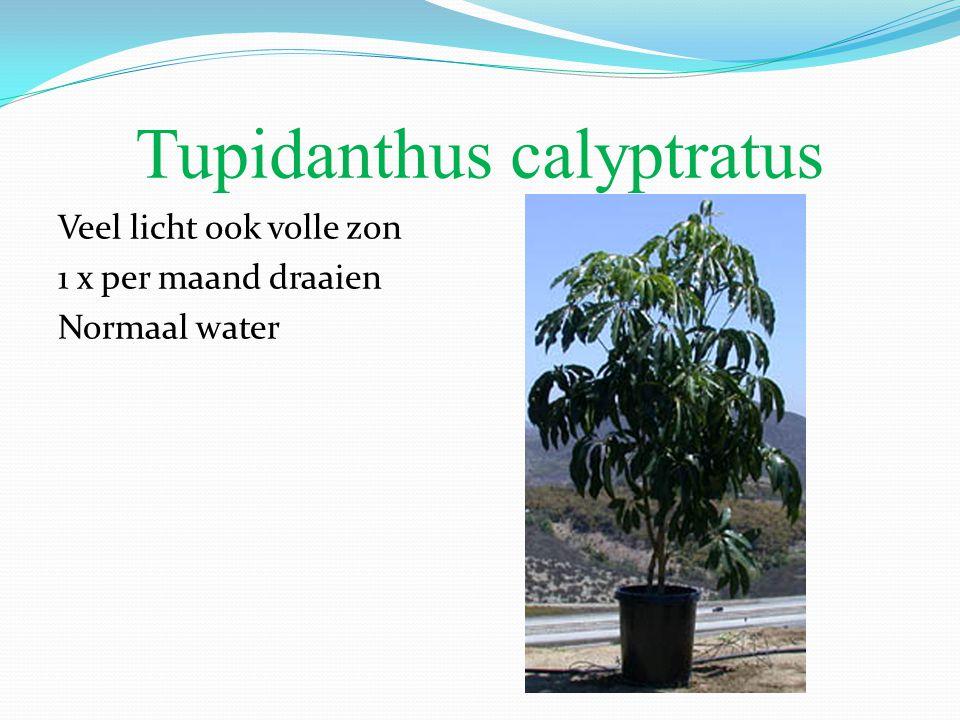 Tupidanthus calyptratus