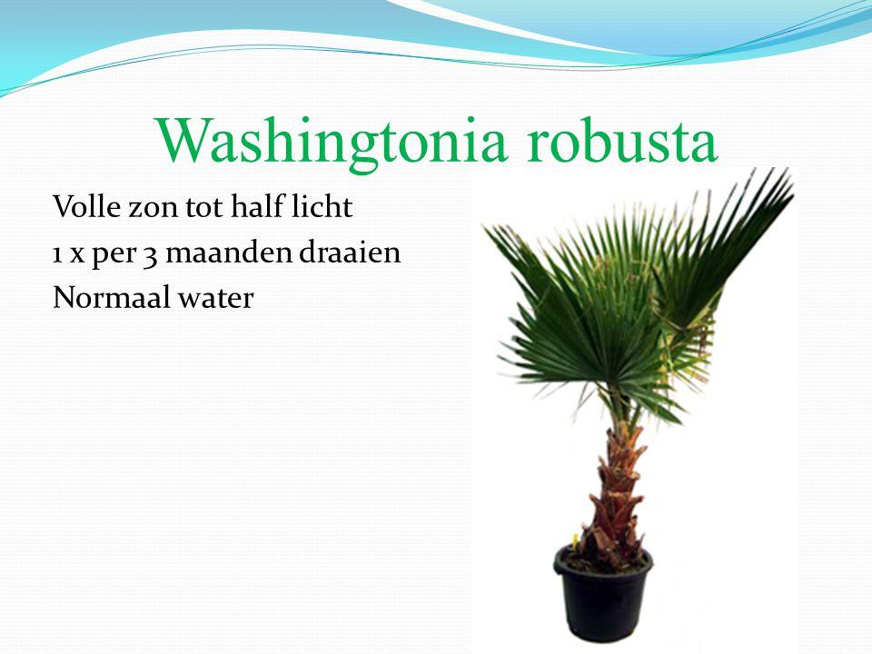 Washingtonia robusta Volle zon tot half licht 1 x per 3 maanden draaien Normaal water