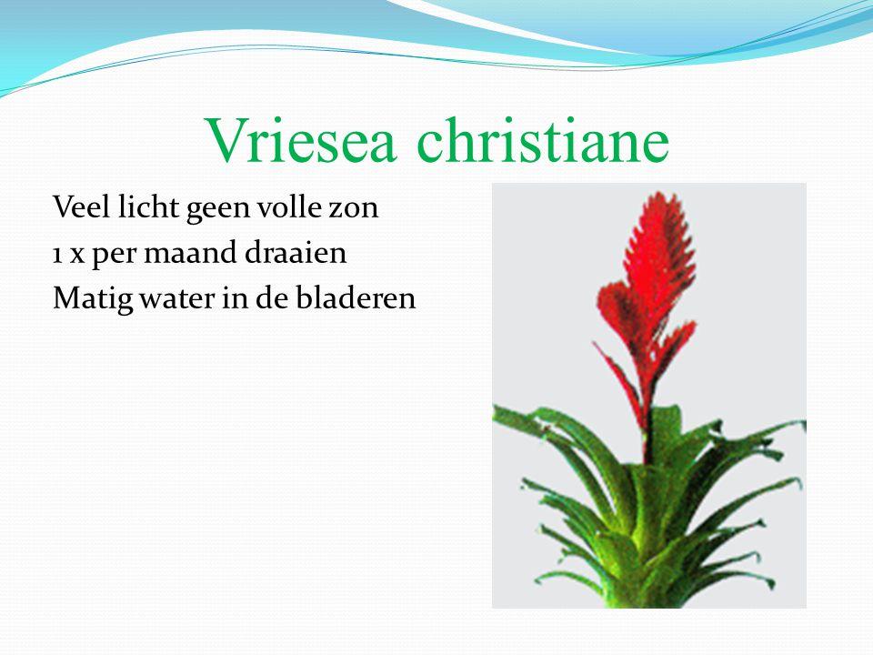 Vriesea christiane Veel licht geen volle zon 1 x per maand draaien Matig water in de bladeren