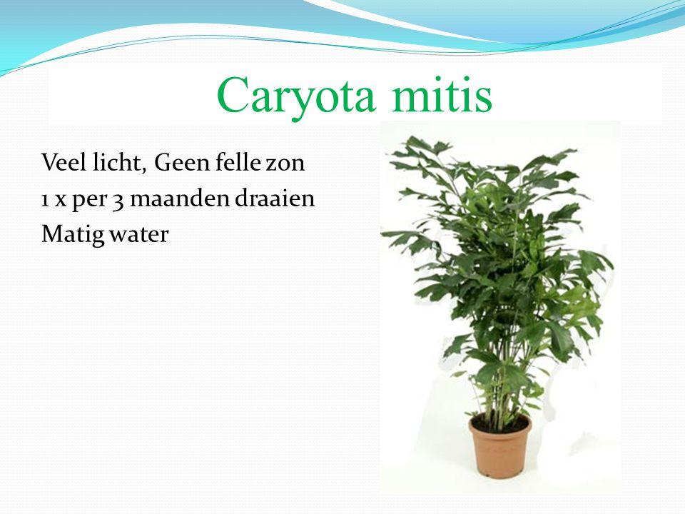 Caryota mitis Veel licht, Geen felle zon 1 x per 3 maanden draaien Matig water