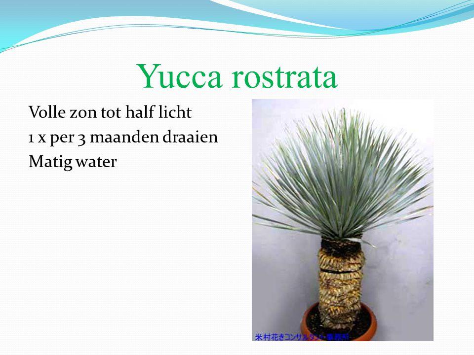 Yucca rostrata Volle zon tot half licht 1 x per 3 maanden draaien Matig water