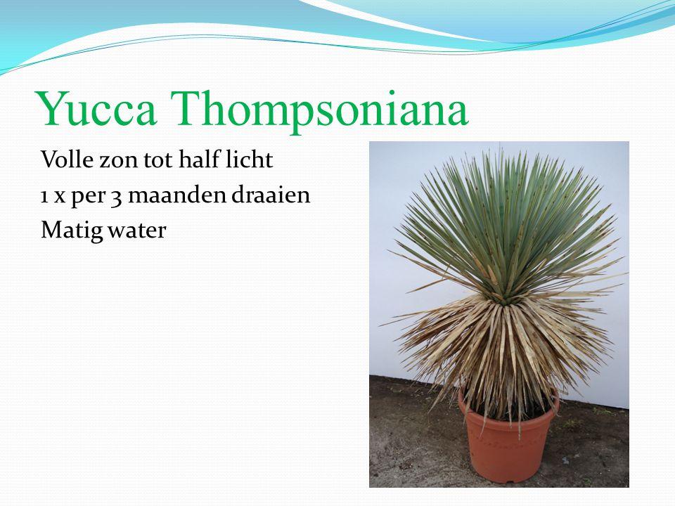 Yucca Thompsoniana Volle zon tot half licht 1 x per 3 maanden draaien