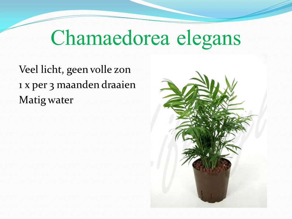 Chamaedorea elegans Veel licht, geen volle zon