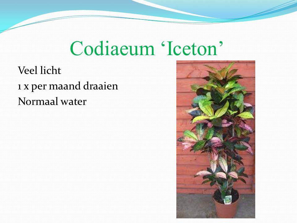 Codiaeum 'Iceton' Veel licht 1 x per maand draaien Normaal water