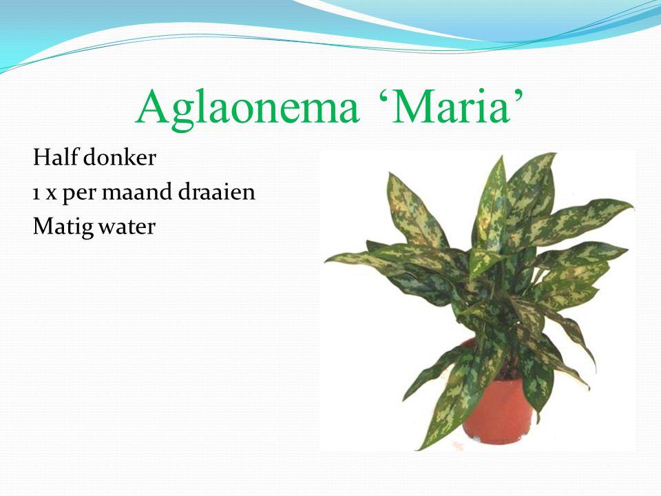 Aglaonema 'Maria' Half donker 1 x per maand draaien Matig water
