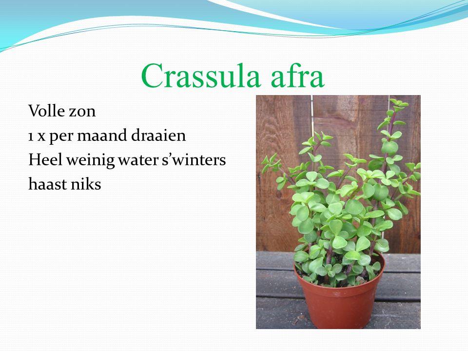 Crassula afra Volle zon 1 x per maand draaien Heel weinig water s'winters haast niks