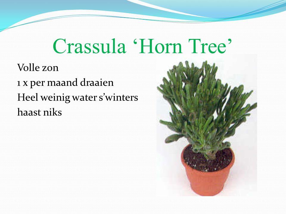 Crassula 'Horn Tree' Volle zon 1 x per maand draaien Heel weinig water s'winters haast niks