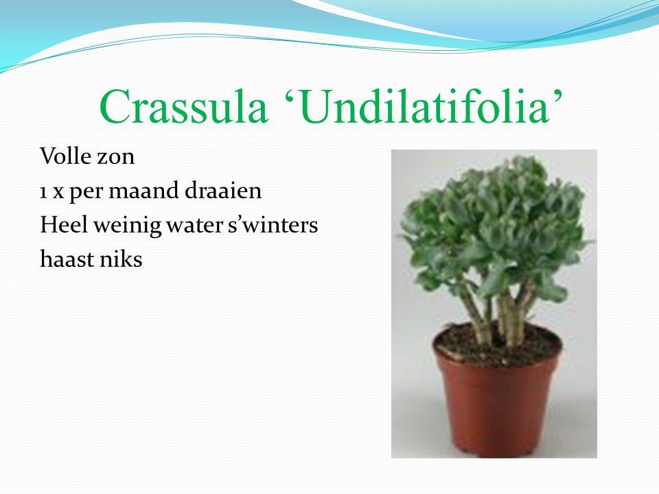 Crassula 'Undilatifolia'