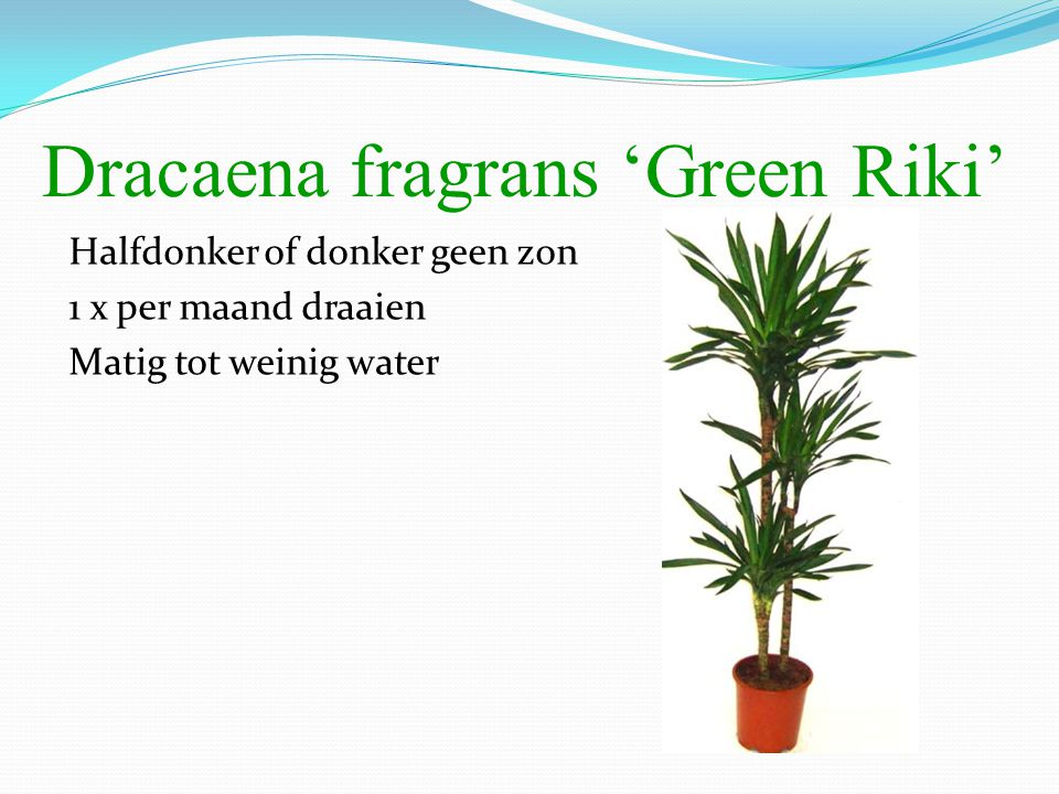 Dracaena fragrans 'Green Riki'