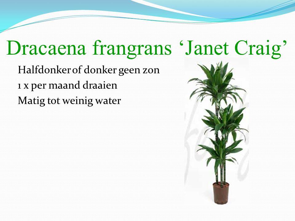 Dracaena frangrans 'Janet Craig'