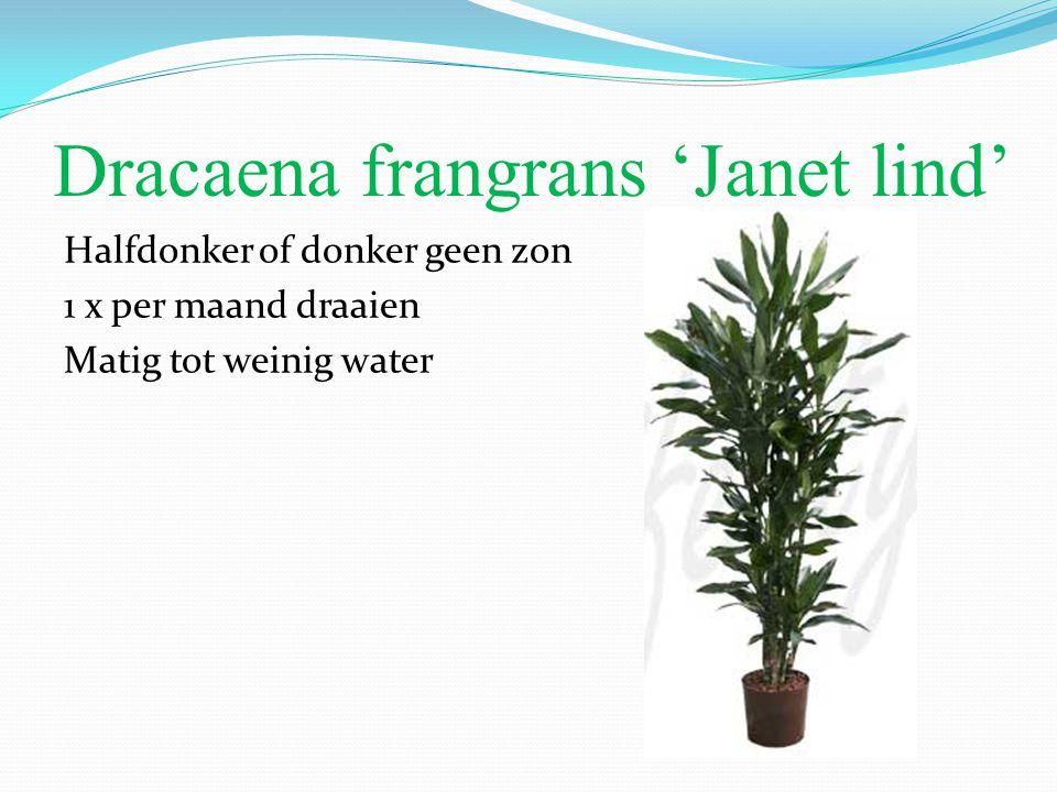 Dracaena frangrans 'Janet lind'