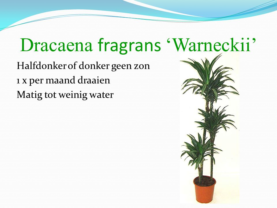 Dracaena fragrans 'Warneckii'