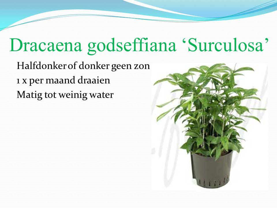 Dracaena godseffiana 'Surculosa'