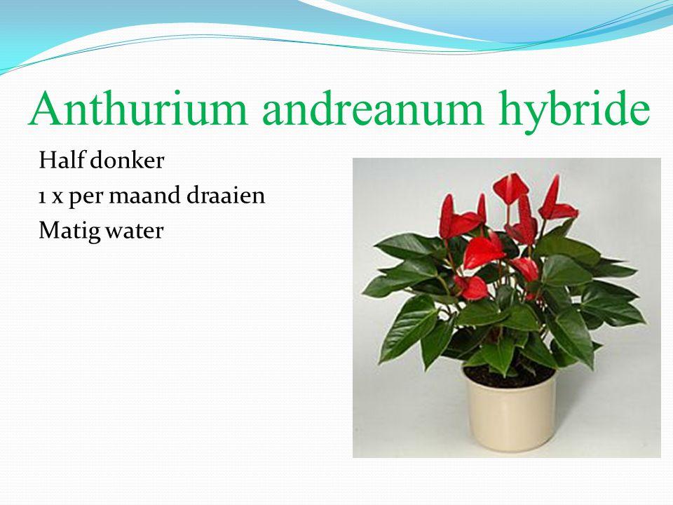 Anthurium andreanum hybride