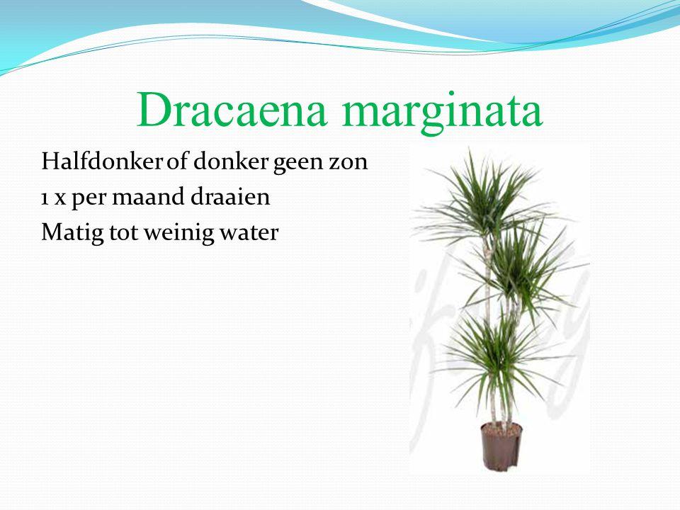 Dracaena marginata Halfdonker of donker geen zon 1 x per maand draaien Matig tot weinig water