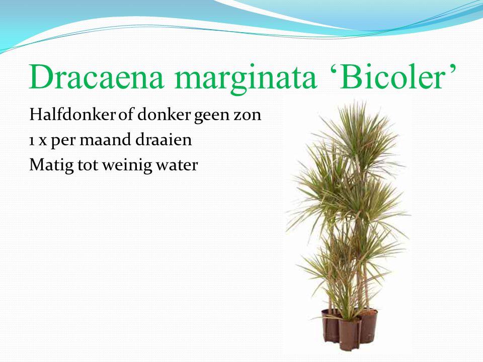 Dracaena marginata 'Bicoler'