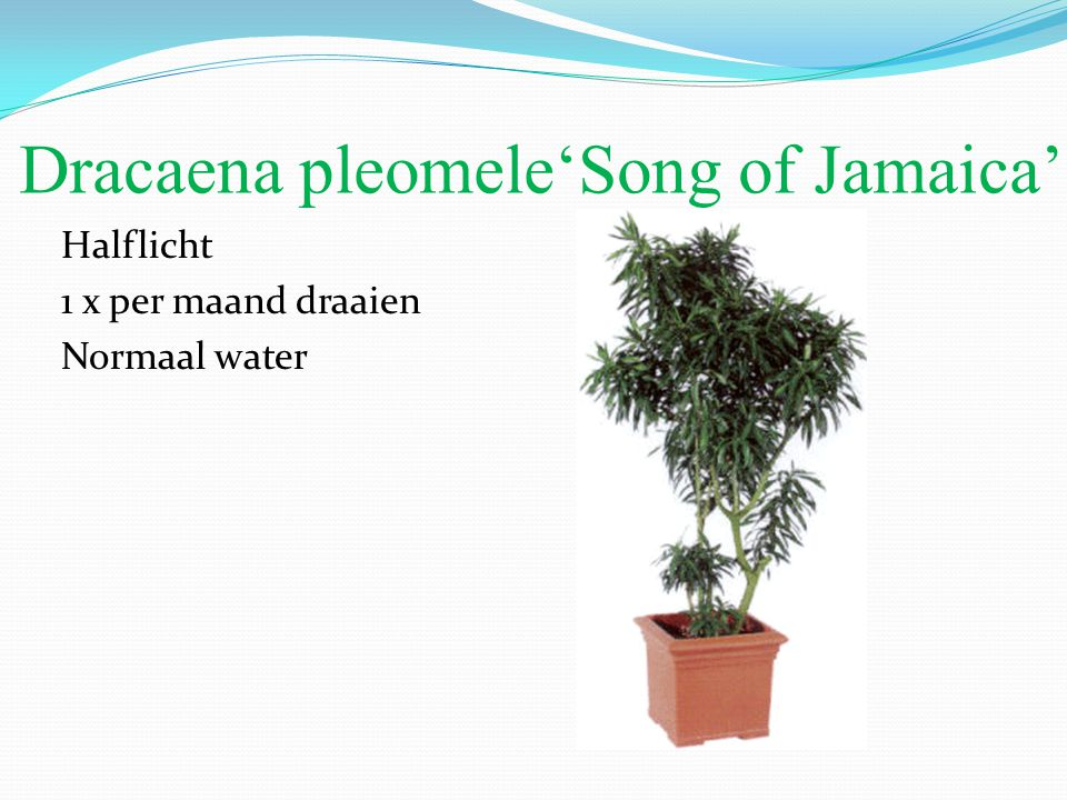 Dracaena pleomele'Song of Jamaica'
